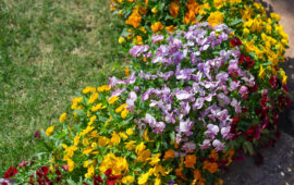 ガーデンに咲き誇るビオラ